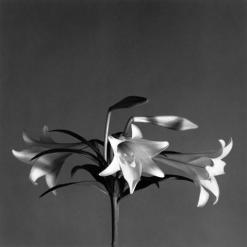 6_EasterLilies_1979 copy
